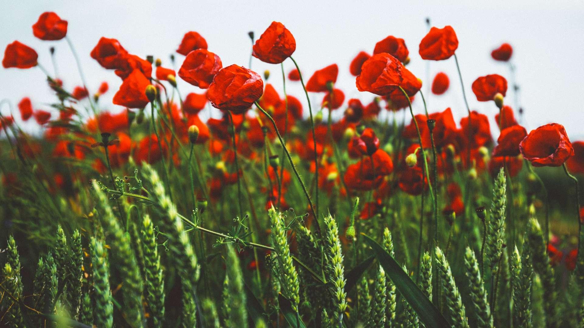 Červené květy vlčích máků a zelené pšeničné klasy
