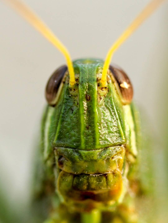 Hlava kobylky -makrofotografie