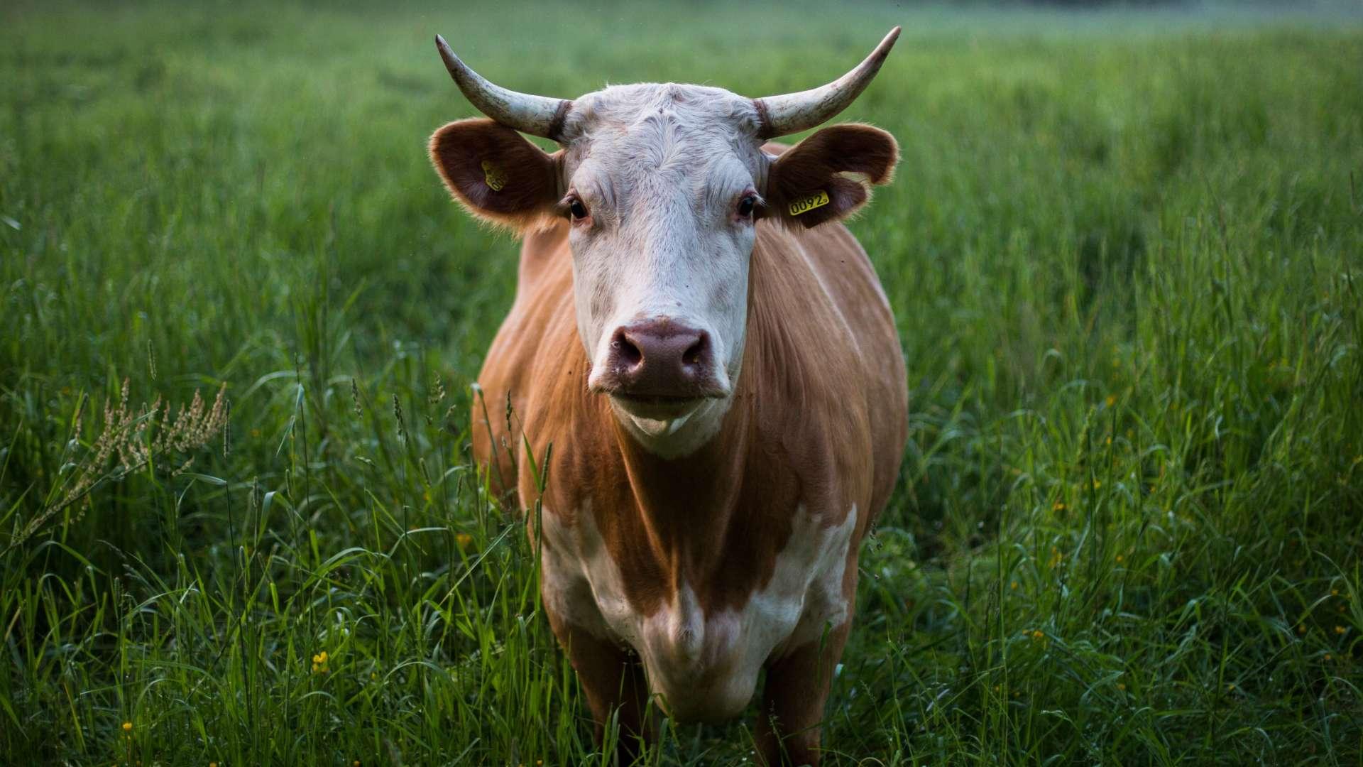 Kráva na zelené trávě, dlouhý pohled přímo do objektivu