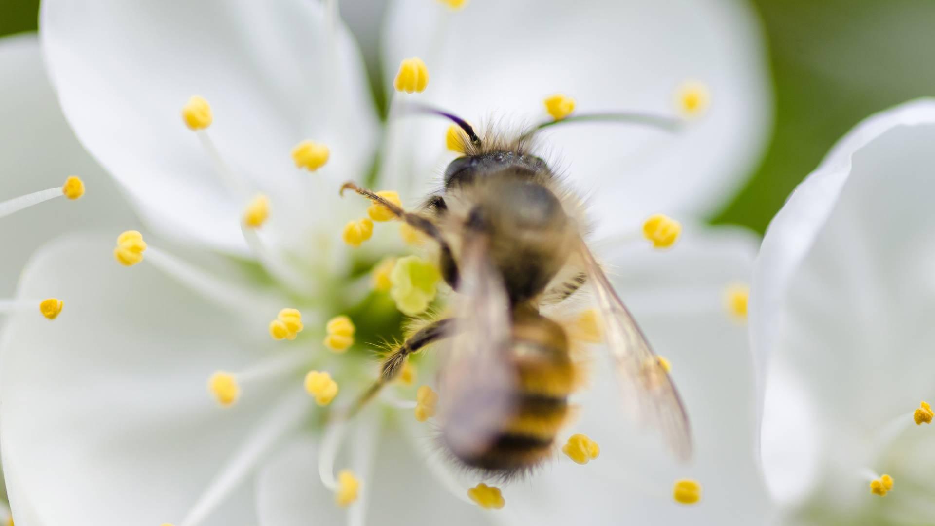 Včela na květu třešně