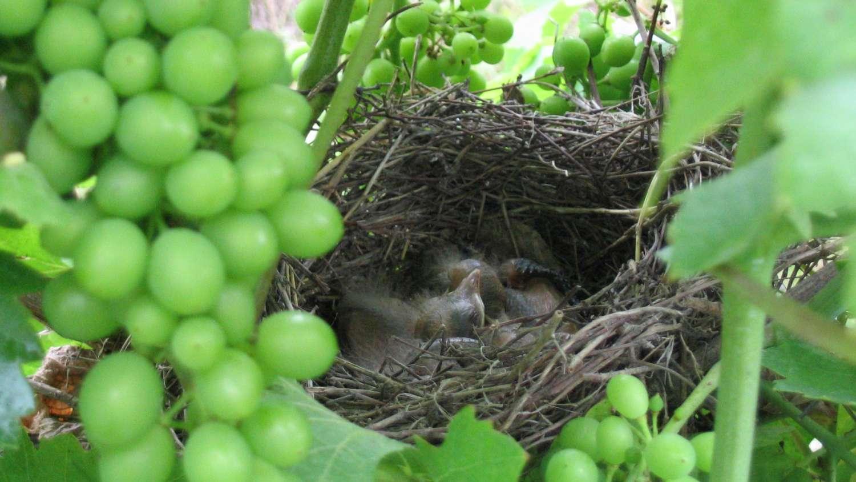 Hnízdo s ptáčaty na biodynamicky pěstovaném keři vinné révy (vinice Sukov)