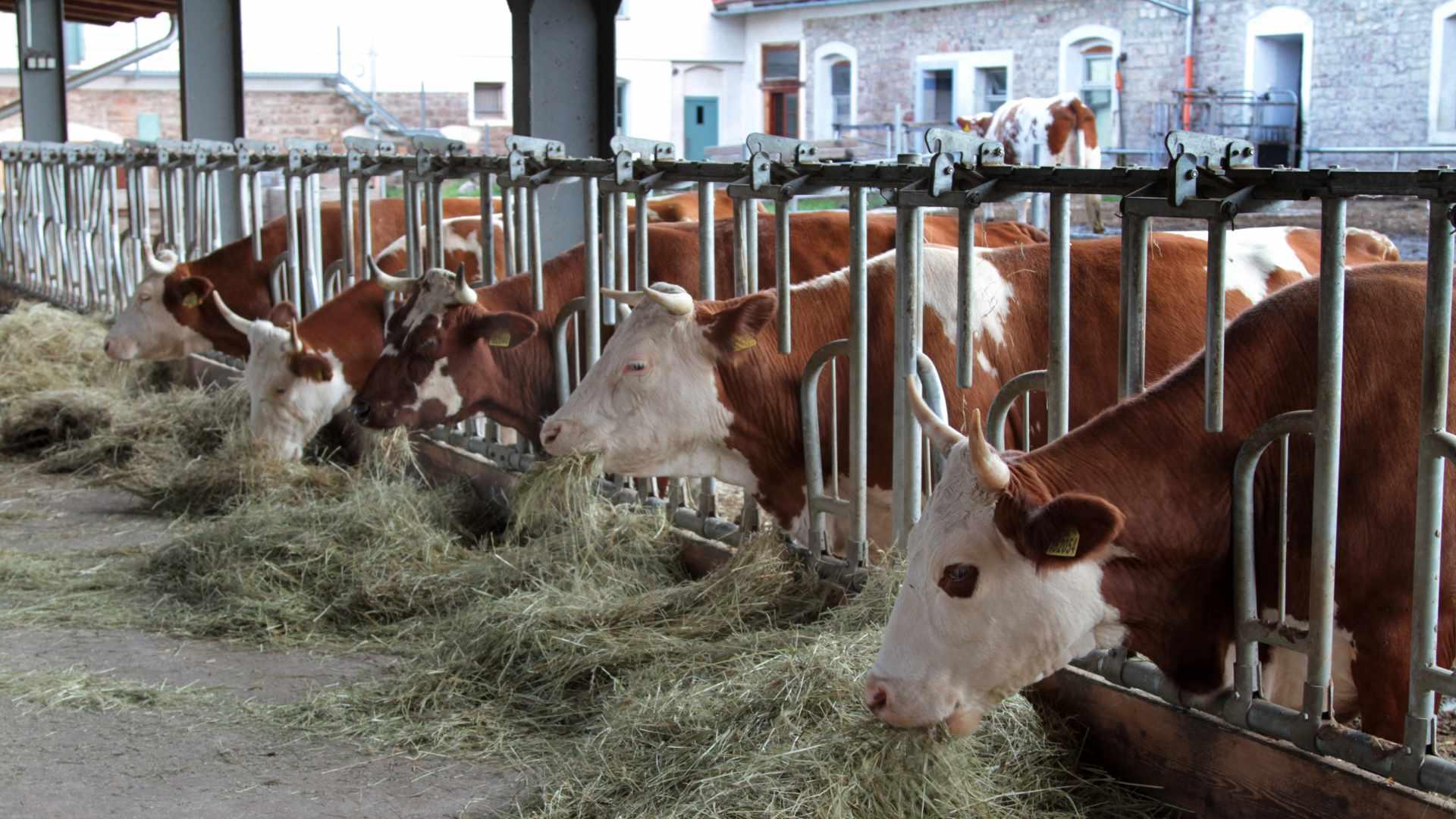 Krávy (česká straka)
