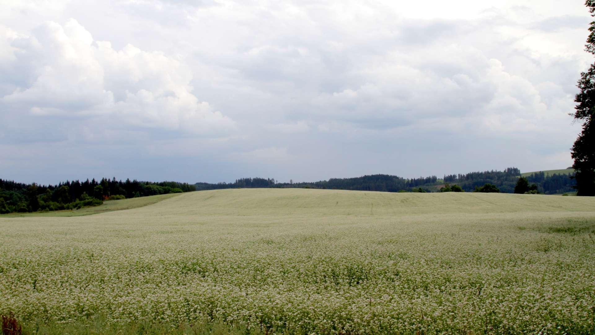 Lán biodynamicky pěstované pohanky