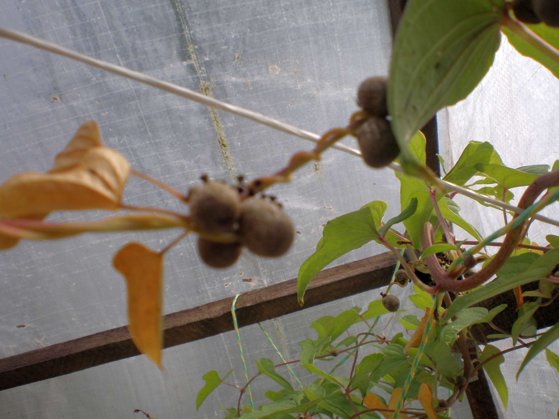 Pacibulky světelného kořene v paždí samiččí rostliny
