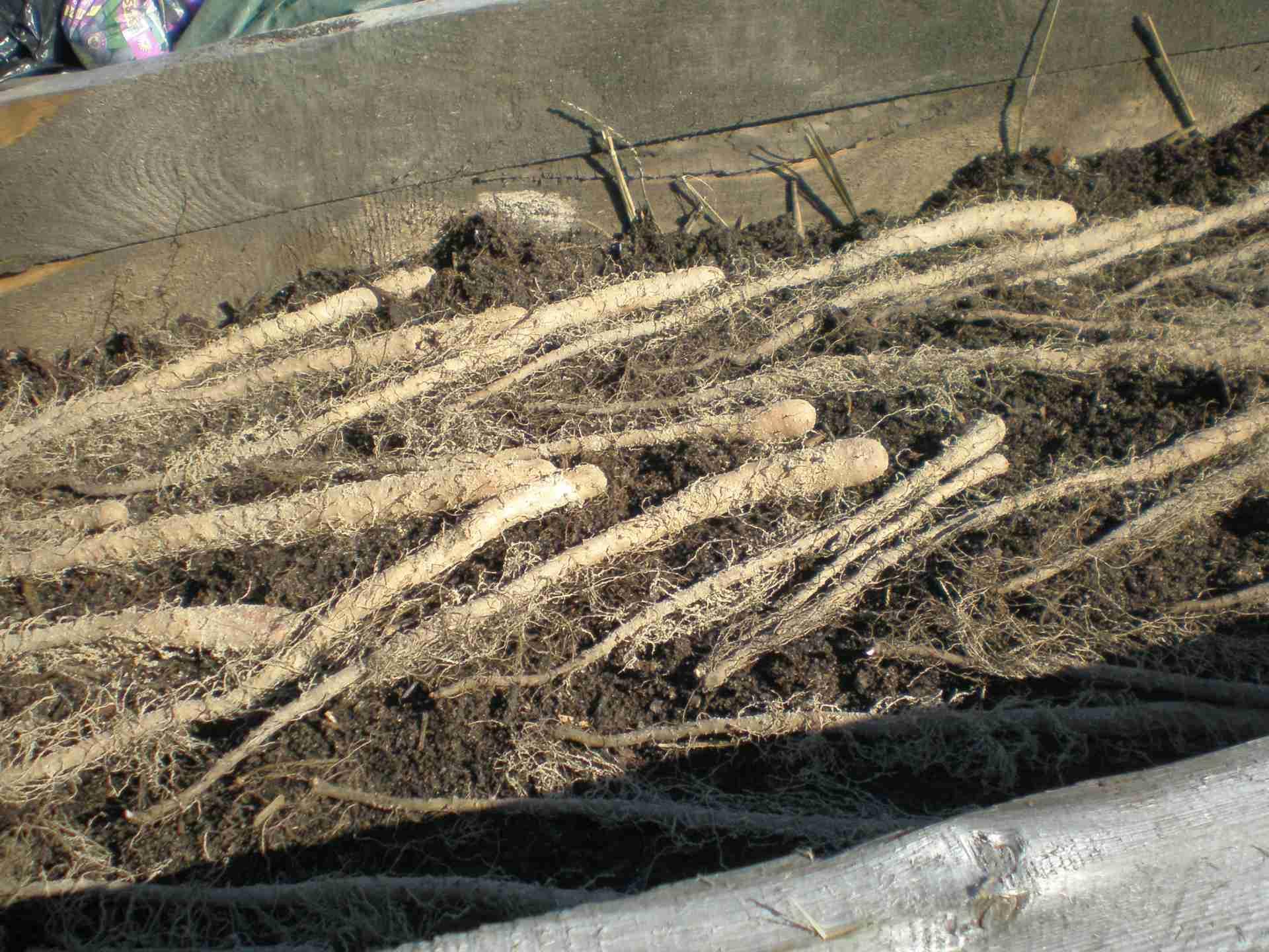 Světelné kořeny vypěstované v ohrádce